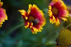 Polinización por Gaillardia colorido de las flores de las abejas en el jardín Fotos de archivo libres de regalías