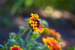 Polinización por Gaillardia colorido de las flores de las abejas en el jardín Fotografía de archivo libre de regalías