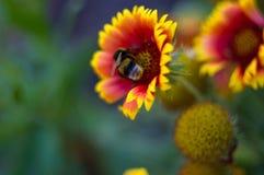 Polinización por Gaillardia colorido de las flores de las abejas en el jardín Foto de archivo libre de regalías