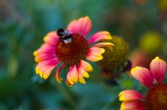 Polinización por Gaillardia colorido de las flores de las abejas en el jardín Fotos de archivo