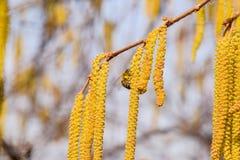 Polinización por la avellana de los pendientes de las abejas Avellana del avellano floreciente Imagen de archivo libre de regalías