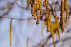 Polinización por la avellana de los pendientes de las abejas Avellana del avellano floreciente Fotos de archivo libres de regalías