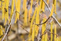 Polinización por la avellana de los pendientes de las abejas Avellana del avellano floreciente Imágenes de archivo libres de regalías