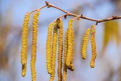 Polinización por la avellana de los pendientes de las abejas Avellana del avellano floreciente Fotografía de archivo