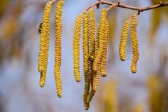 Polinización por la avellana de los pendientes de las abejas Avellana del avellano floreciente Fotos de archivo