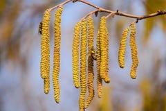 Polinización por la avellana de los pendientes de las abejas Avellana del avellano floreciente Imagenes de archivo