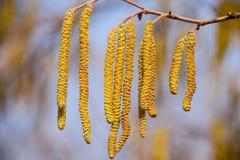 Polinización por la avellana de los pendientes de las abejas Avellana del avellano floreciente Imagen de archivo