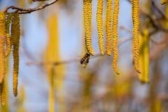 Polinización por la avellana de los pendientes de las abejas Avellana del avellano floreciente Foto de archivo