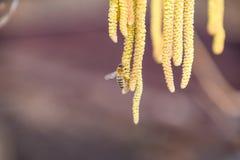 Polinización por la avellana de los pendientes de las abejas Avellana del avellano floreciente Foto de archivo libre de regalías