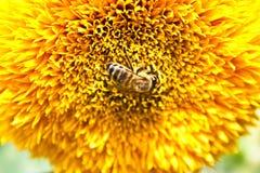 Polinización por la flor amarilla grande de las abejas Foto de archivo