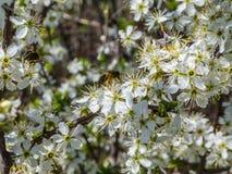 Polinización por las abejas de las flores del endrino Foto de archivo libre de regalías