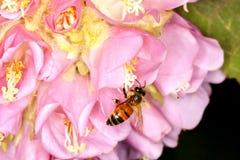 Polinización: Primer de la bola rosada Dombeya con la abeja Fotografía de archivo