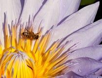 Polinización: Primer de un lirio de agua con la abeja Fotos de archivo libres de regalías