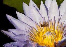 Polinización: Primer de un lirio de agua con la abeja Imágenes de archivo libres de regalías