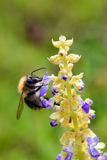 Polinizando a abelha Fotos de Stock