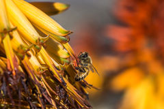Polinizando a abelha Fotografia de Stock