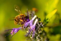 Polinizando o detalhe da abelha Imagens de Stock Royalty Free