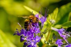 Polinizando o detalhe da abelha Fotos de Stock Royalty Free