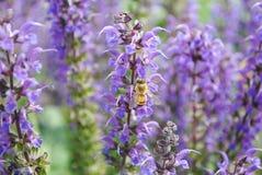Polinizar da abelha Fotos de Stock