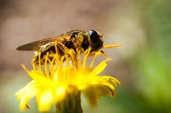 Polinizar da abelha Imagens de Stock Royalty Free