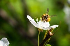 Polinizar europeu de trabalho duro da abelha do mel flores em um spr imagens de stock