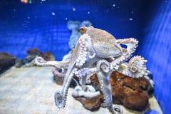 Polipo in acquario marino immagine stock