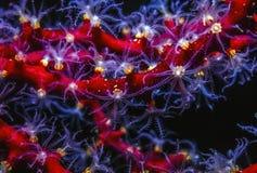 Polipo del corallo di Gorgonian alla notte fotografie stock