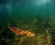 Polipo nel nuoto Fotografia Stock