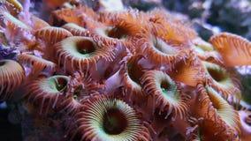 Polipo porpora del bottone, zoanthids molli subacquei dei coralli di mutuki di protopalythoa archivi video