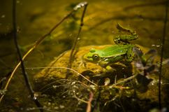 Polish fauna: little green frog in pond. Polisg fauna: a liitle green frog in pond on sunny spring day royalty free stock photos