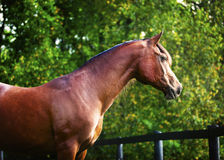 Polish Arabian Bay Profile Stock Photography