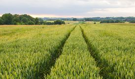 Polish arable fields. Rural landscape. Ripening cereals. A general view of the Polish arable fields. Unripe cereals stock image