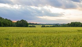 Polish arable fields. Rural landscape. Ripening cereals. A general view of the Polish arable fields. Unripe cereals royalty free stock photography