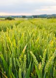 Polish arable fields. Rural landscape. Ripening cereals. A general view of the Polish arable fields. Unripe cereals stock photo