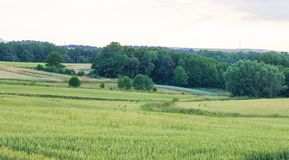Polish arable fields. Rural landscape. Ripening cereals. A general view of the Polish arable fields. Unripe cereals royalty free stock image
