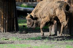 Polish bison Royalty Free Stock Photography