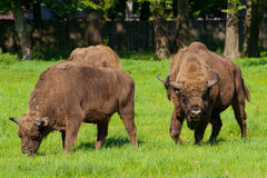Polish bisons. Eating grass in Bialowieza national park stock photography