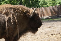 Polish Buffalo. This is a photo of a polish buffalo in the Wroclaw zoo Royalty Free Stock Photography