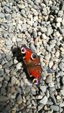 Butterfly on stones stock images
