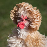 Polish chicken Royalty Free Stock Photography