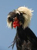Polish crested chicken Stock Photo