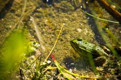 Polish fauna: little green frog in pond. Polisg fauna: a liitle green frog in pond on sunny spring day royalty free stock photography