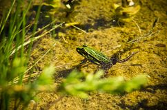 Polish fauna: little green frog in pond. Polisg fauna: a liitle green frog in pond on sunny spring day stock photo