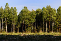 Polish forest Royalty Free Stock Image