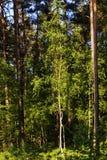 Polish forest Stock Image