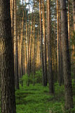 Polish forest Stock Photos
