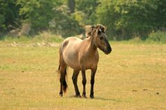 Polish Konik horse Stock Photos