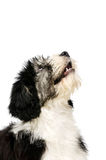 Polish Lowland Sheepdog isolated on a white background Stock Images