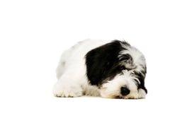 Polish Lowland Sheepdog isolated on a white background Royalty Free Stock Photography