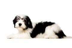 Polish Lowland Sheepdog isolated on a white background Royalty Free Stock Images